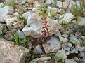 Euphorbia (1)
