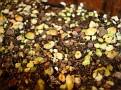 Puya mirabilis