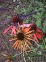 Echinacea 'Meadowbrite Orange'