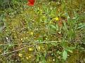 Ophrys melena (10)