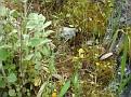 Ophrys melena (13)