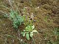 Ophrys ferrum equinum (6)