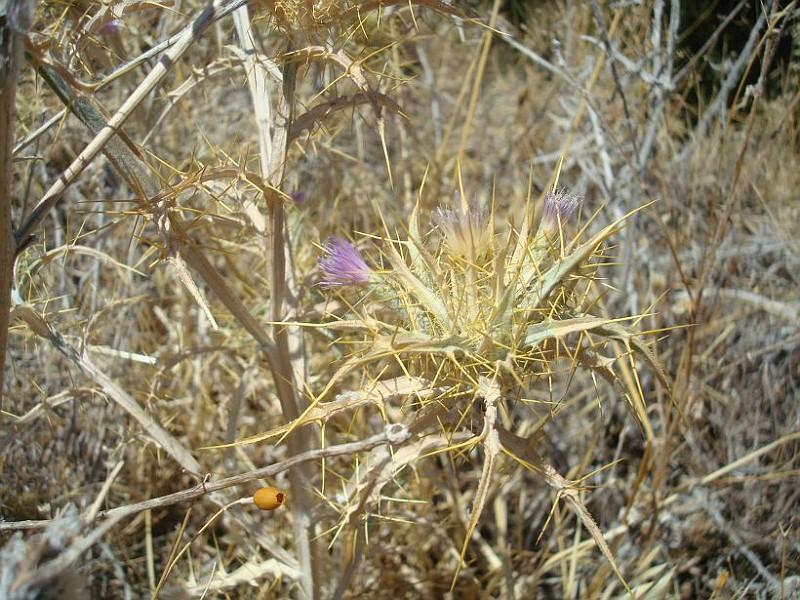 Picnomon acarna - Πίκνομο - Syn; Carduus acarna Cirsium acarna (4)