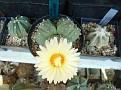 Astrophytum asterias ' forma a tre teste '