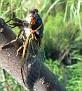 Singing Apache Cicada