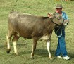 Brown Swiss Cattle 002