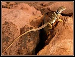 Lizard on the Rocks - A Favorite of Mine
