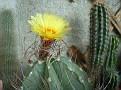 Astrophytum capricorne v senile