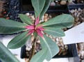 Euphorbia bongolavaensis