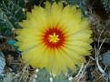Astrophytum senile v aureum