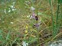 Ophrys oestrifera (15)