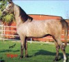 ALGIER (Algier x Mimikra) 1974 grey stallion