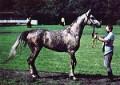 ARGO (Gwarny x Arba, by Comet) 1976 grey stallion bred by Janow Podlaski