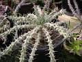 Euphorbia actinoclada