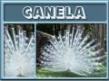 canela-gailz0304-albino peacock.jpg