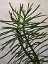 Bryophyllum tubiflorum