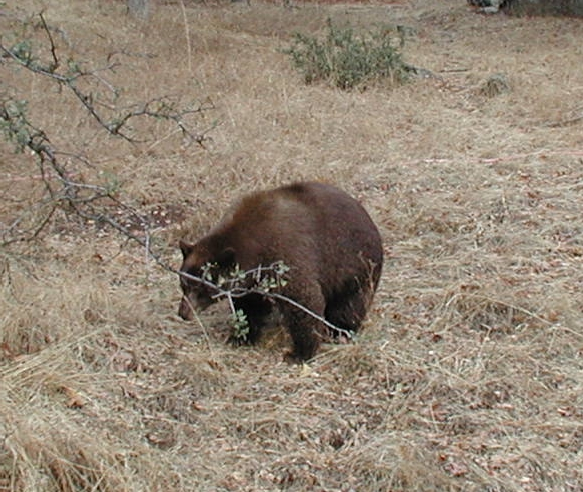 A large bear just crossed the road in front of me.