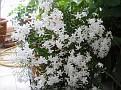 jasminum polyanthum 2008