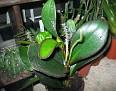 Peperomia obtusifolia (7)