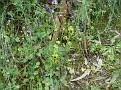 Ophrys melena