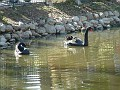 5  Black swans