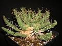 Euphorbia astrophora sp. nov.