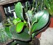 Peperomia obtusifolia (6)