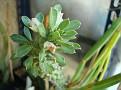 Monadenium sp