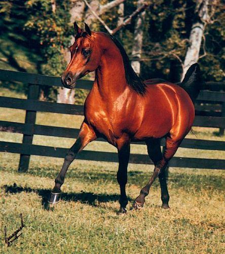 Photo: *ALADDINN 1975 bay stallion (Nureddin x Lalage, by ...   444 x 500 jpeg 57kB