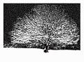 The Lone Tree @2009 R valerie jagiello