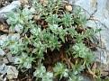 Paronychia sp (1)