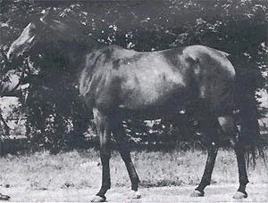 ABHAZJA #25446 (Omar II x Arfa, by Witraz) 1956-1979 bay mare imported to USA 1963 by Ed Tweed. Dam of 1 foal in Poland; 8 in USA.