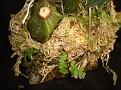 Stanhopea tigrina
