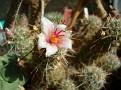 Mammillaria thornberi 'organ pipe'
