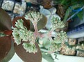 Crassulla perfoliata var falcata
