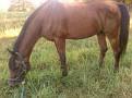 MA FANTOM #470426 (Alidad, by *Aladdinn x *Fatinaa, by *Carycyn) 1991 bay stallion bred by Nodoroma Arabians