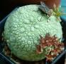 Pseudolithos sphaericum