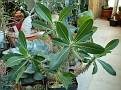 Pachypodium densiflorum brevicalyx